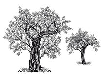 Olive trees. Monochrome illustration of two olive trees both in leaf, white background vector illustration