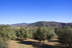 Olive trees and mountains of Andalusia under blue sky. Olive groves with mountain scenery in an arid landscape under a blue sky in andalusia spain Stock Photo