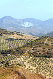 Olive trees in the mountains of Granada Royalty Free Stock Image