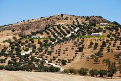 Olive trees on mountainside, Andalusia. Stock Photos