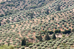 Olive Trees Mycenae Greece Royaltyfria Foton