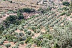 Olive Trees Mycenae Greece Stock Images