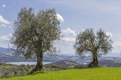 Olive Trees N Tuscany Stock Image