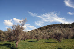 Olive trees and nature royalty free stock photo