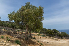 Olive trees near Giola Natural Pool in Thassos island, Greece Stock Images
