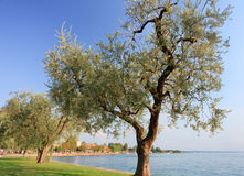 Olive trees near lake Garda in Bardolino Stock Photos