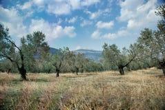Olive trees near Mycenae Stock Photo