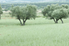 Olive trees in an oat field Stock Photo