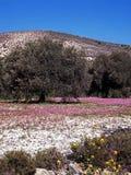 Olive trees och fjäderblommor, Cypern. Arkivbilder