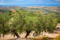 Olive Trees och kolonilandskap Royaltyfri Foto
