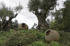 Olive trees and old vases in garden Royalty Free Stock Image