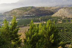 Olive trees. Oleve plants of Lasiti, Crete, Greece Stock Photography