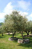 Olive trees in Olive Grove in full sun. White flowers on trees rather than ripened Olives Royalty Free Stock Photography