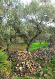 Olive trees, olives, olive oil, Andalusia, Spain Stock Image