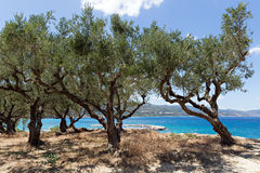 Free Olive Trees On The Cliff Stock Photo - 75662600