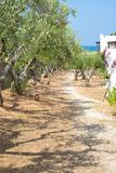 Olive trees orchard royalty free stock photo