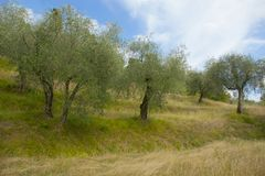Olive Trees Outdoors imagem de stock