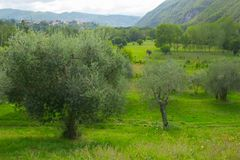 Olive Trees Outdoors fotos de stock