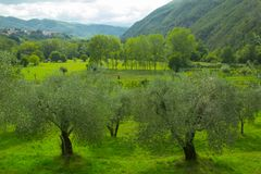 Olive Trees Outdoors foto de stock royalty free