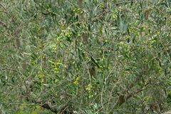 Olive Trees Outdoors fotos de stock royalty free
