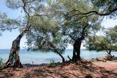 Olive Trees på kustlinjen av Kontokali Arkivfoton