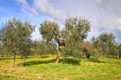 Olive trees. Royalty Free Stock Photos