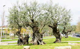 Olive trees in a park royalty free stock image
