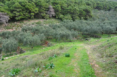 Olive trees pine forest Stock Photography
