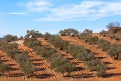 Olive trees plantation Royalty Free Stock Image