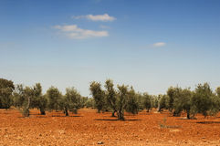 Olive trees in plantation Stock Image