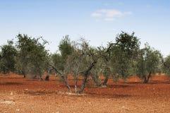 Olive trees in plantation Stock Photo