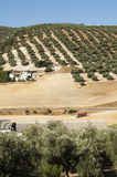 Olive trees in plantation Stock Photos