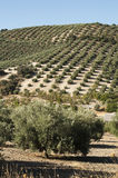 Olive trees in plantation Royalty Free Stock Images