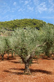 Olive trees plantation Royalty Free Stock Photos