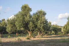 Olive trees in plantation. Royalty Free Stock Photography
