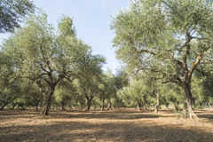 Olive trees in plantation Stock Photography