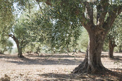 Olive trees in plantation Royalty Free Stock Photo
