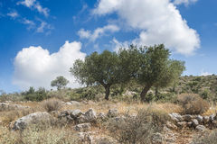 Olive trees in plantation Stock Photo