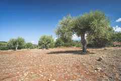 Olive trees in plantation Stock Images