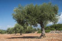 Olive trees in plantation Stock Photos