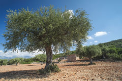 Olive trees in plantation Royalty Free Stock Image