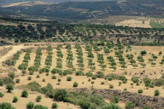 Olive trees, plantation Royalty Free Stock Photos