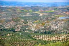 Olive Trees Plantation Andalusian landskap, Spanien, Europa Royaltyfria Foton