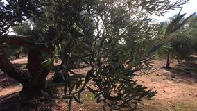 Olive trees plantation. The camera moves slowly between the olive trees stock video footage