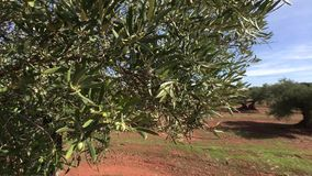 Olive trees plantation. The camera moves slowly between the olive trees stock video