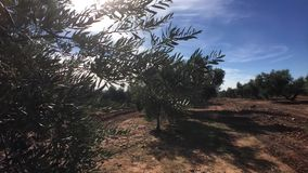 Olive trees plantation. The camera moves slowly between the olive trees stock footage