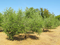 Olive trees plantation Stock Photos