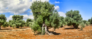 Olive trees. Royalty Free Stock Images