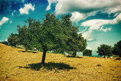 Olive trees. Plantation and cloudy sky Stock Photo