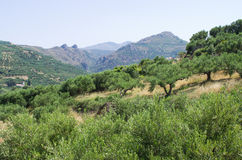 Olive trees plantation on Crete, Greece Royalty Free Stock Photography